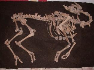 17th Century's Camel Skeleton found in Austria: Archaeologists